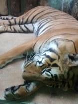 Tigre durmiendo Bildflut85